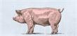 لماذا لا يأكلون لحم الخنزير؟